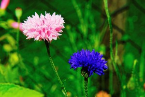 Dva kvety
