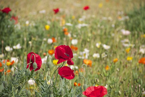 Lucne kvety - fytoterapia v Levoči